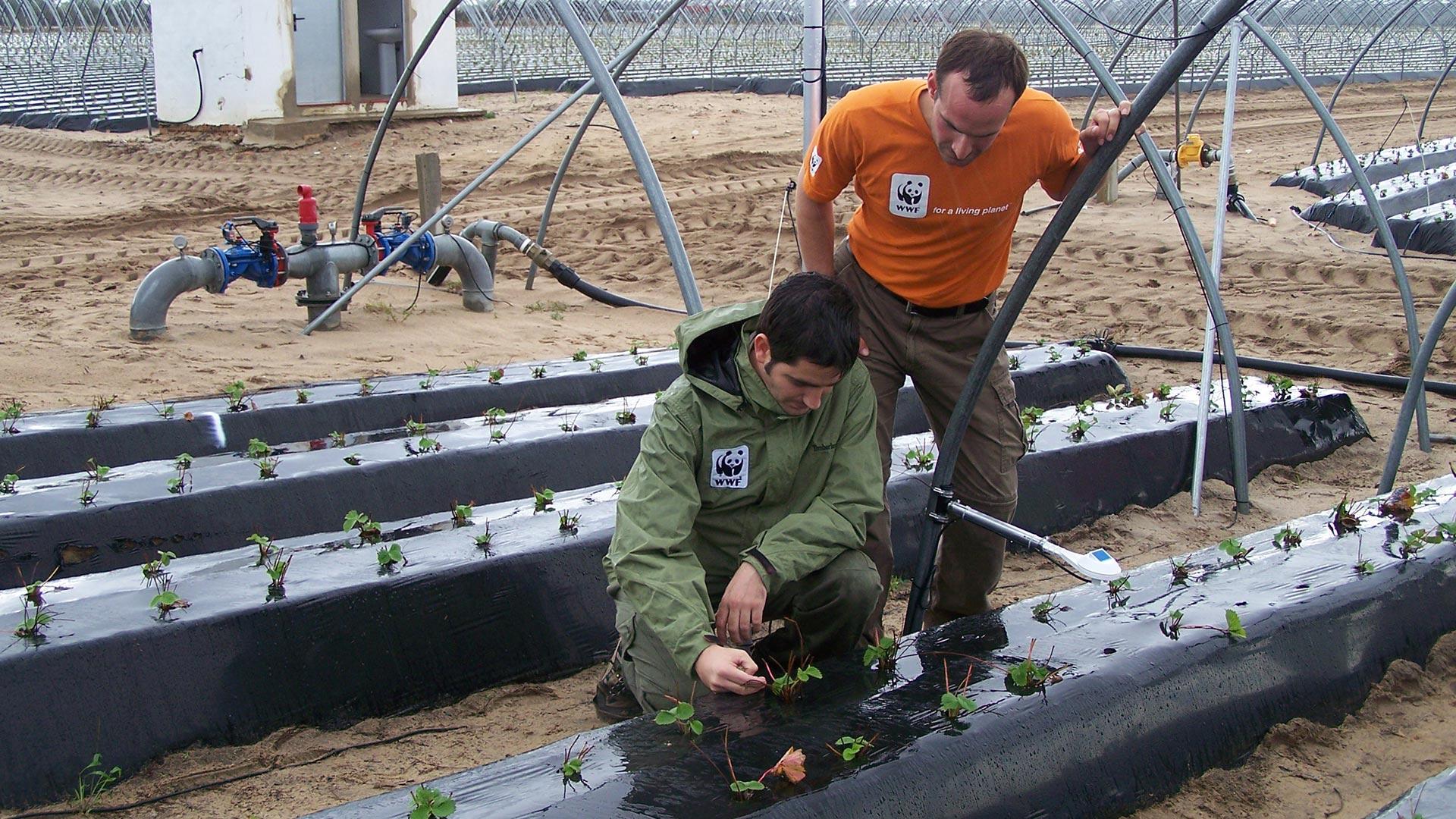 Kollegen des WWF Spanien arbeiten an einer nachhaltigeren Bewässerung von Erdbeeren in Doñana © Franko Petri / WWF