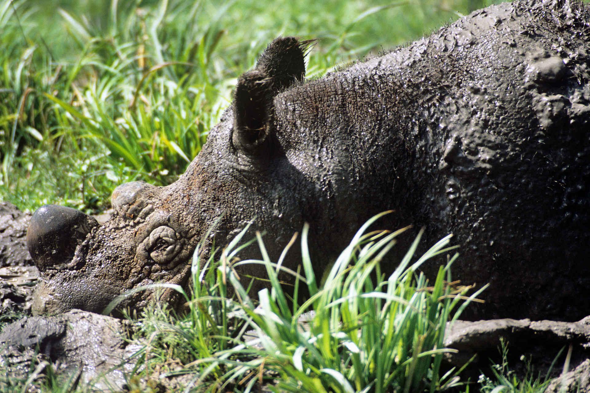 Sumatra Nashorn in Schlammkuhle