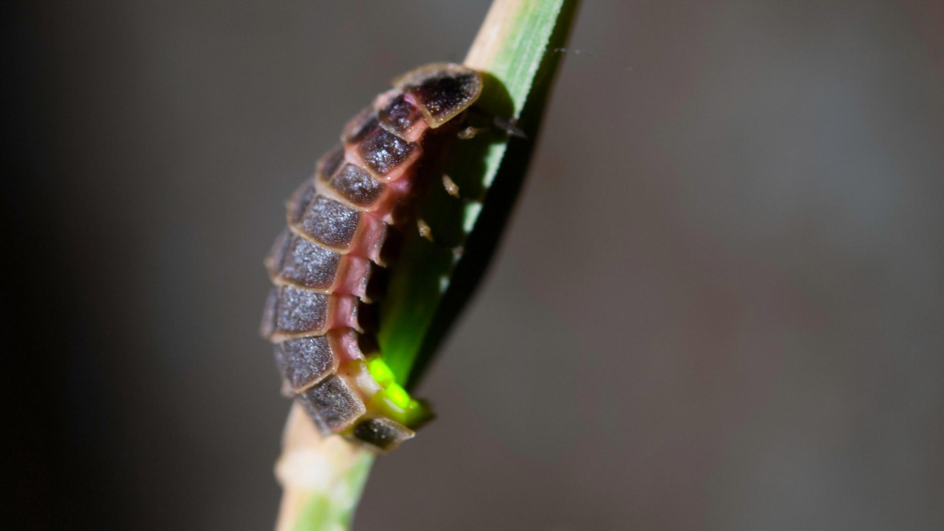 Glühwürmchen Weibchen leuchtet