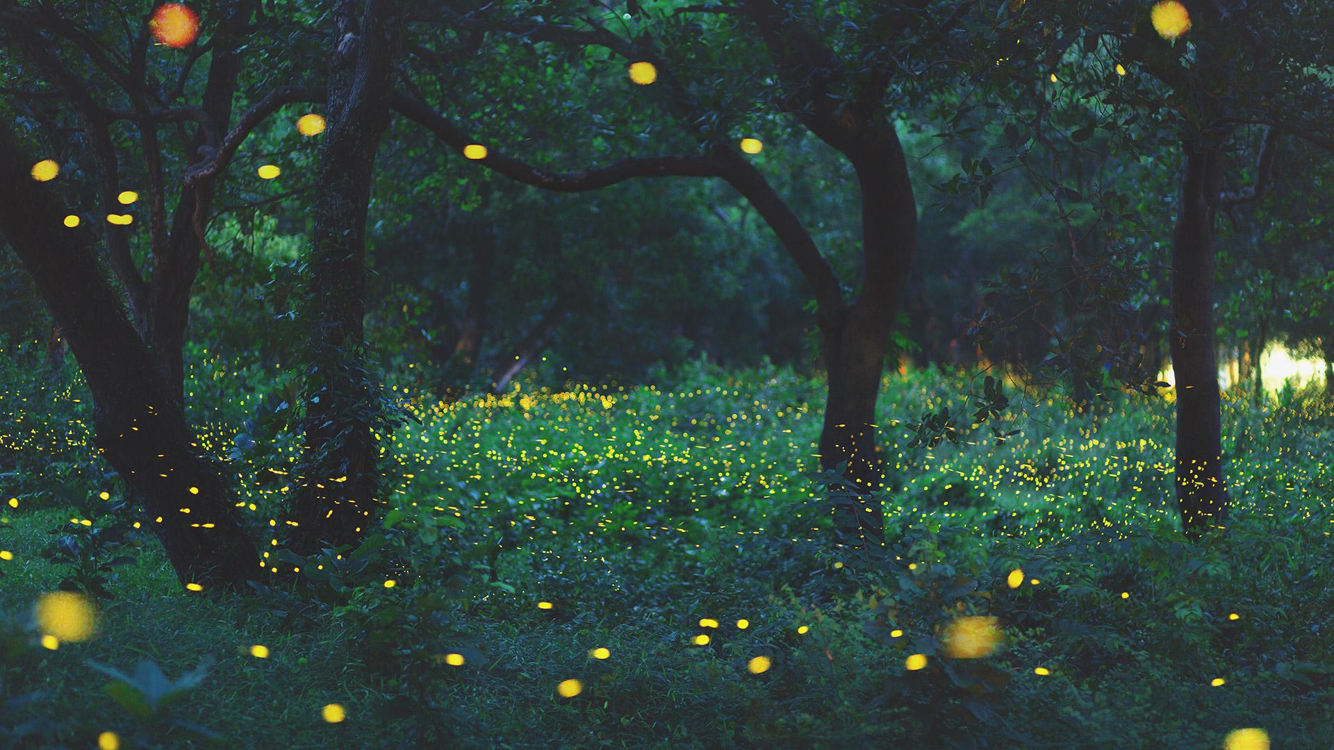 Glühwürmchen im Wald