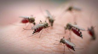 Stechmücken bekämpfen: Vier Stechmücken beim Blutsaugen