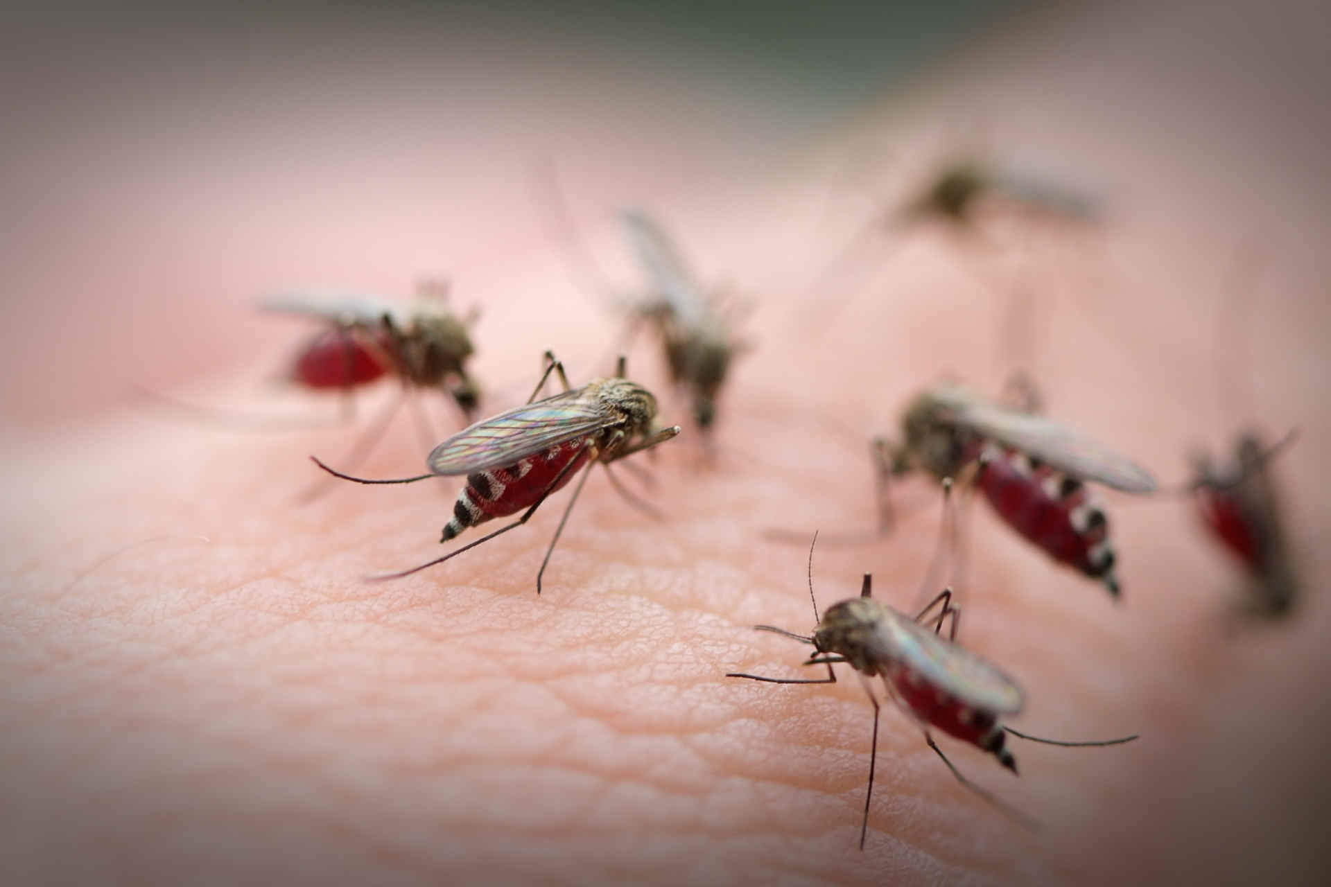 Was hilft gegen Mücken? Vier Stechmücken beim Blutsaugen