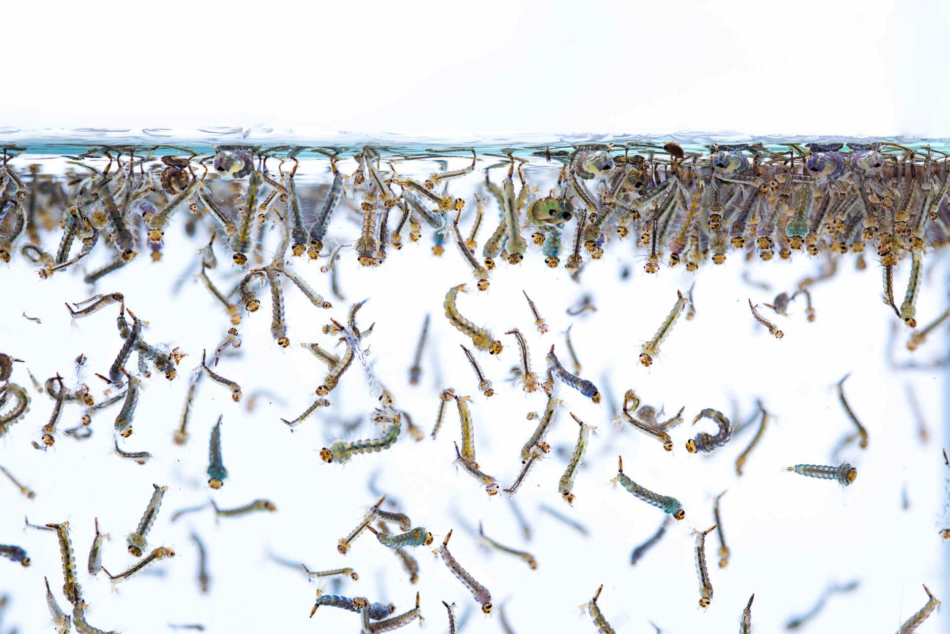 Stechmücken bekämpfen: Larven in Wasser