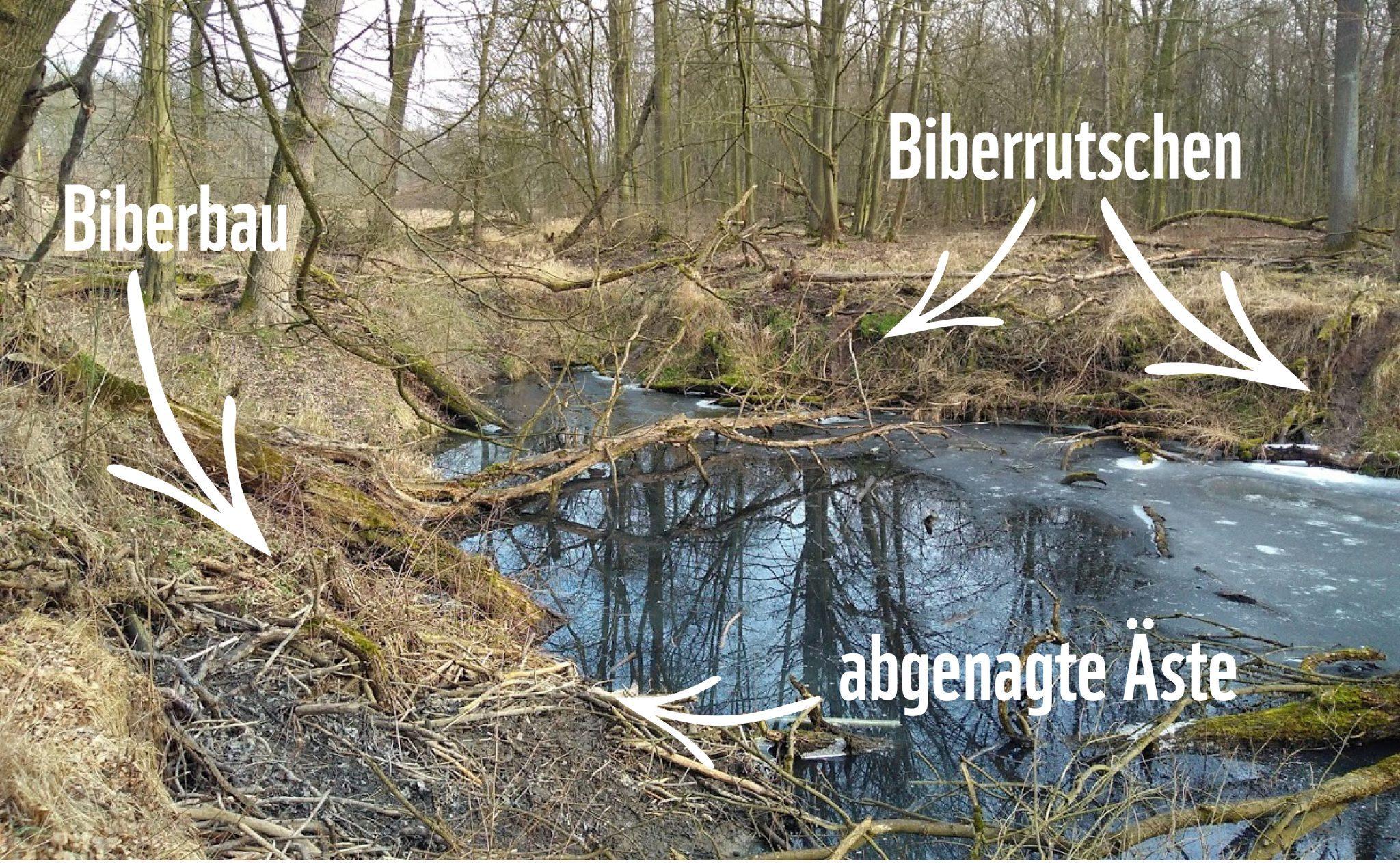 Ein Biberbau mit abgenagten Ästen und Biberrutschen an der Mittleren Elbe © Anne Lewerentz /WWF