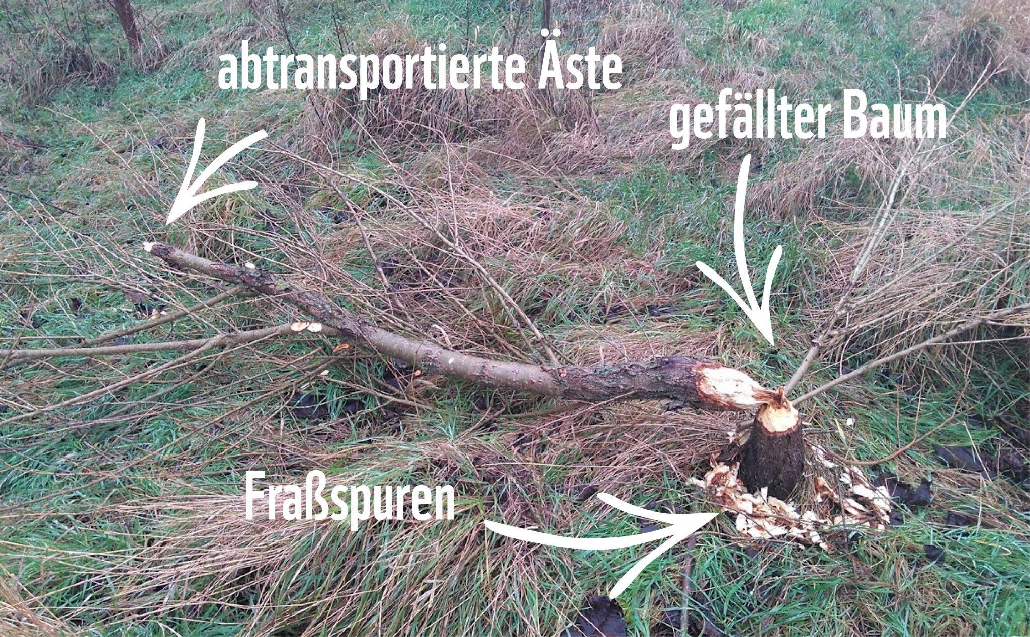 Ein von Bibern gefällter Baum mit deutlichen Fraßspuren © Anne Lewerentz / WWF