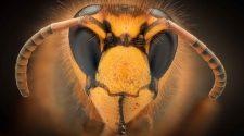 Wespe in Nahaufnahme. Ab August bis Spätsommer kommen die Raubinsekten verstärkt mit Menschen in Kontakt