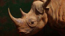 Nashörner wie dieses Spitzmaulnashorn sind vom Aussterben bedroht.