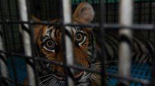 Tigerhandel: Tiger im viel zu kleinen Käfig in einem Zoo Nähe Pattaya, Thailand.