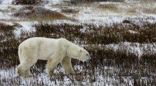 Eisbär auf Streifzug. Eisbär Jagd gehört zur Tradition der Inuit