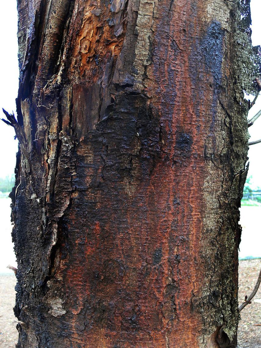 Das Bakterium Pseudomonas lässt die Rinde von Kastanien Bäumen aufreißen. Dunkler Ausfluss tritt aus, Pilze können sich einnisten.