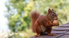 Im Winter haben es Eichhörnchen schwer, weil sie wenig zu fressen finden. Trotzdem gibt es Besseres als Füttern!