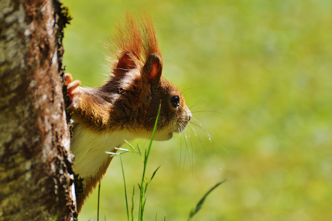 Dieses Eichhörnchen sieht ganz munter aus. Lässt sich ein Eichhörnchen leicht einfangen oder läuft einem sogar nach, braucht es in der Regel Hilfe - und kompetente Hände in einer Eichhörnchen-Pflegestelle.