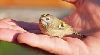 Was tun, wenn man einen hilflosen Jungvogel findet? Ist er wirklich aus dem Nest gefallen? Schadet man ihm, wenn man ihn anfasst?