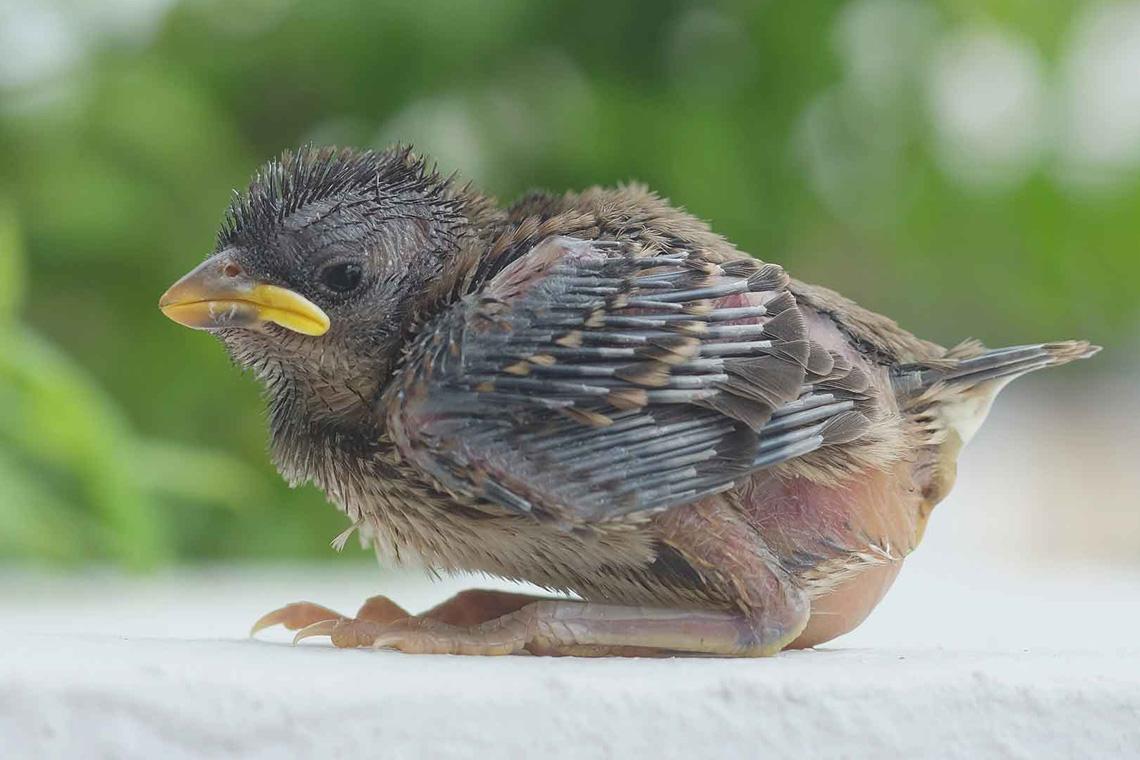 Vogelbaby: So sehen hilfebedürftige Vögel aus. Das Spatzenbaby ist aus dem Nest gefallen und kann hier noch nicht alleine überleben.