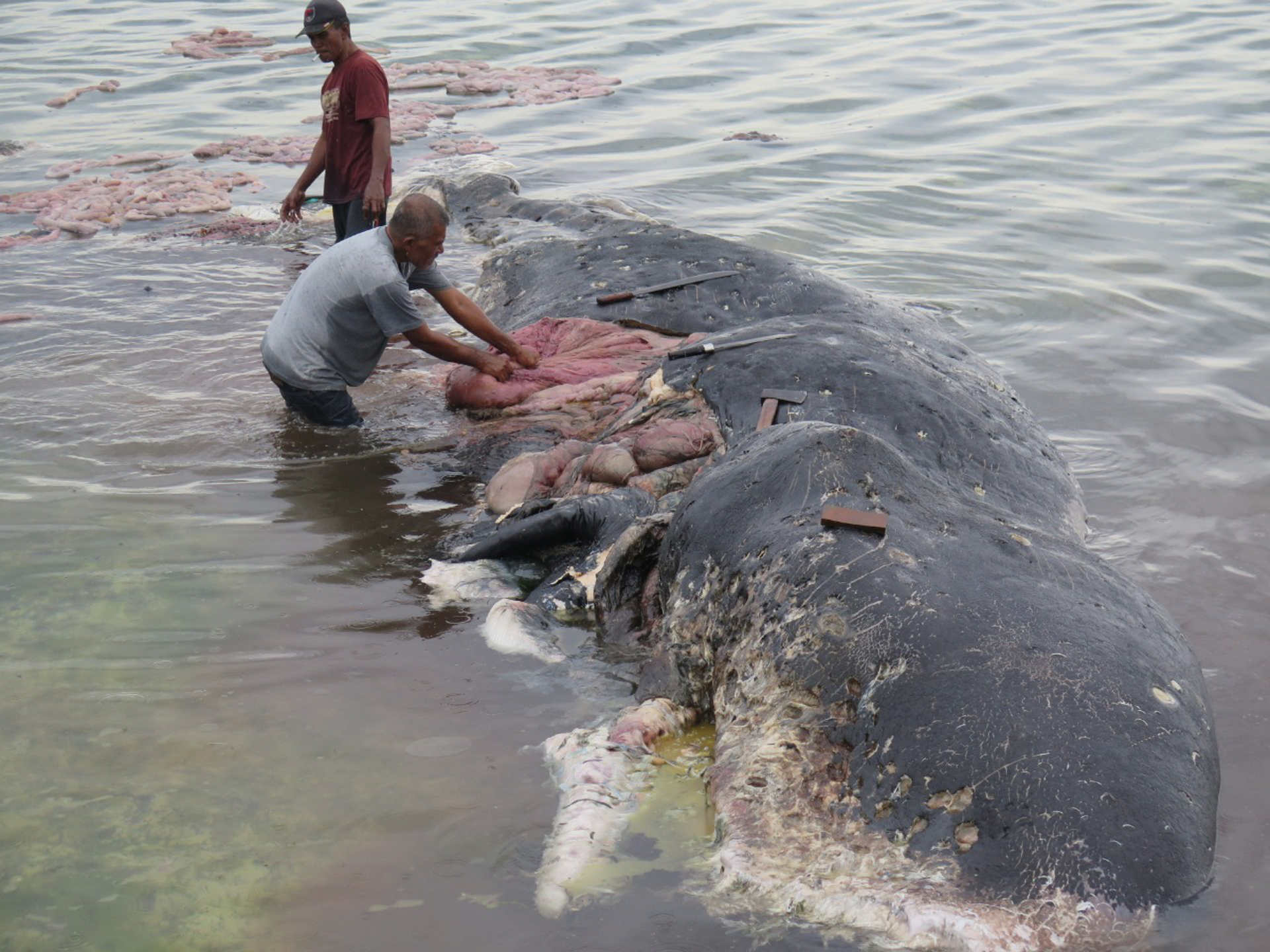 Wal Plastikmüll : Gestrandeter Wal mit über 1000 Teilen Plastik im Magen
