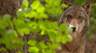 Wolf beobachtet aus dem Gebüsch