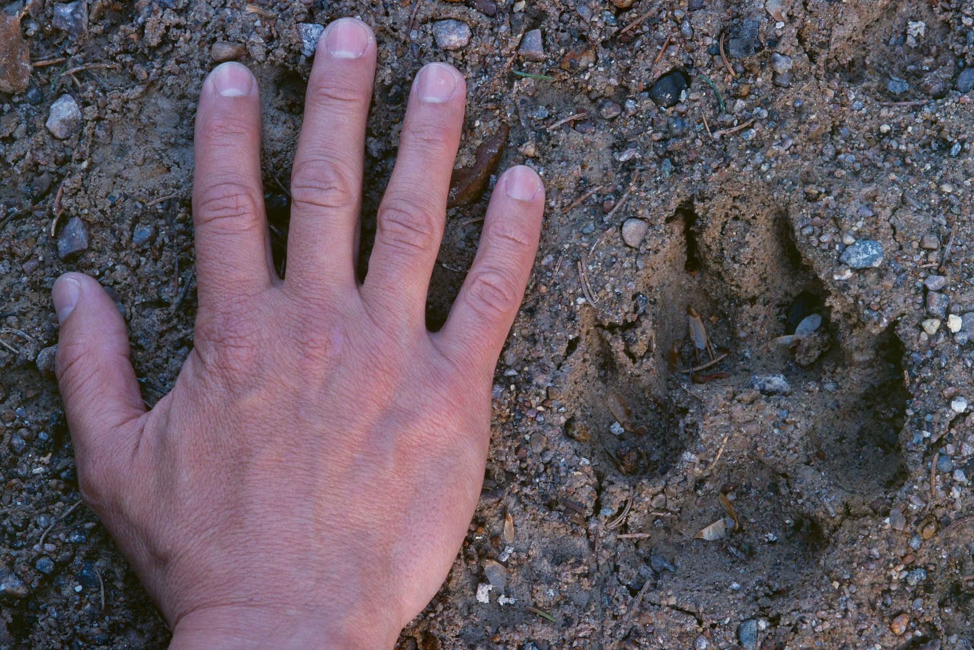 Wolf Spur neben Hand
