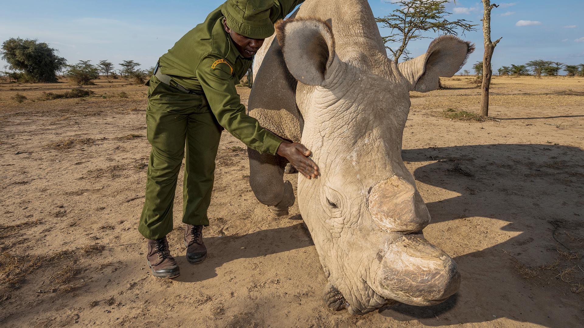 Nach Sudans Tod gibt es nun nur noch zwei weibliche Nördliche Breitmaulnashörner. Der letzte Strohhalm zur Rettung der Unterart sind nun Initiativen zur künstlichen Befruchtung. © Ola Jennersten / WWF