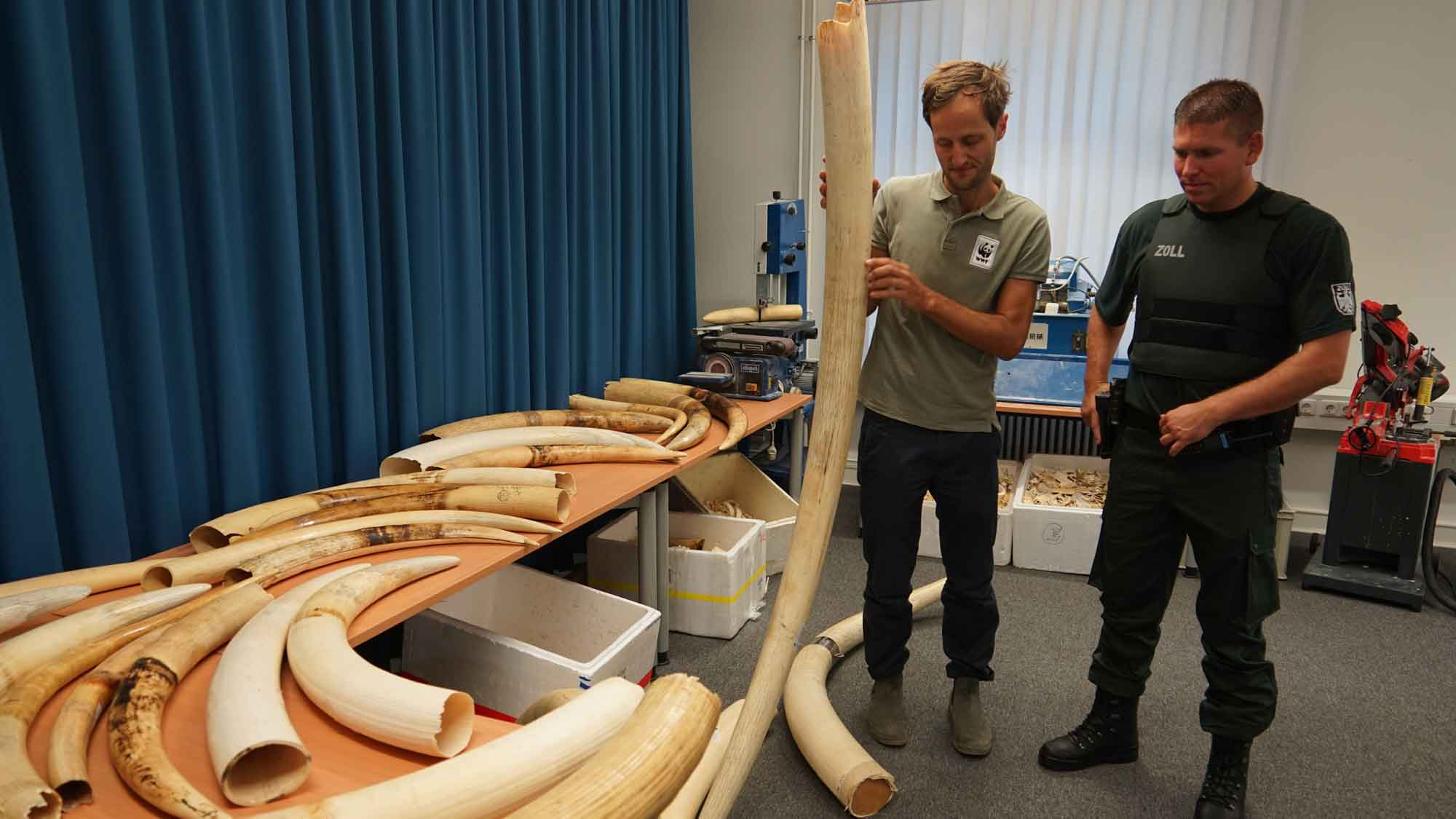 Am Flughafen Berlin-Schönefeld wurden 2017 ganze 600 Kilo Elfenbein aufgegriffen. © Robert Günter / WWF Deutschland