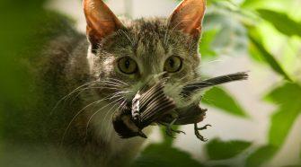 Verwilderte Hauskatzen können durchaus gefährlich werden. © iStock / Getty Images
