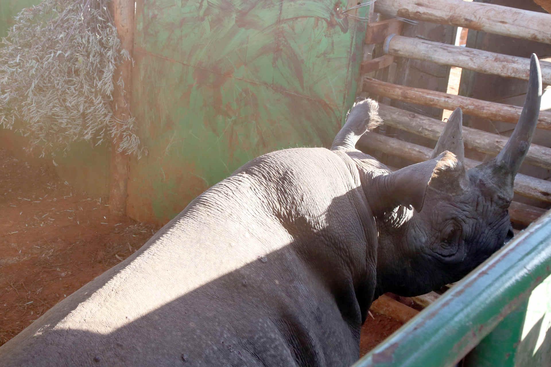 Nashorn in Kenia bei der Umsiedlung