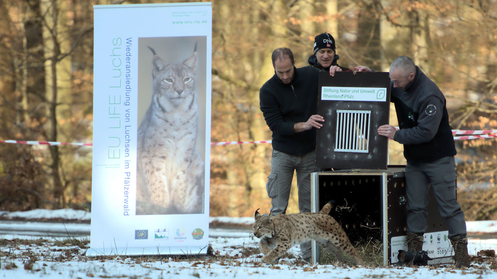 Freilassung der Luchsin Mala in der Pfalz am 6. Februar 2019