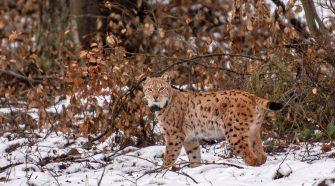 Luchs Paarungszeit: Luchs Lucky im Schnee in der Pfalz