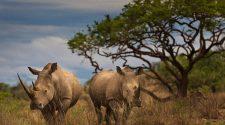 Zwei Breitmaul Nashörner in Südafrika