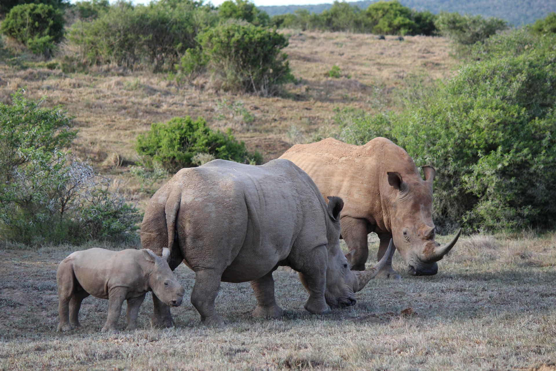 Zwei Nashörner mit ihrem Jungen in Südafrika