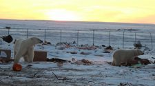 Eisbären im Müll in Churchill, Kanada