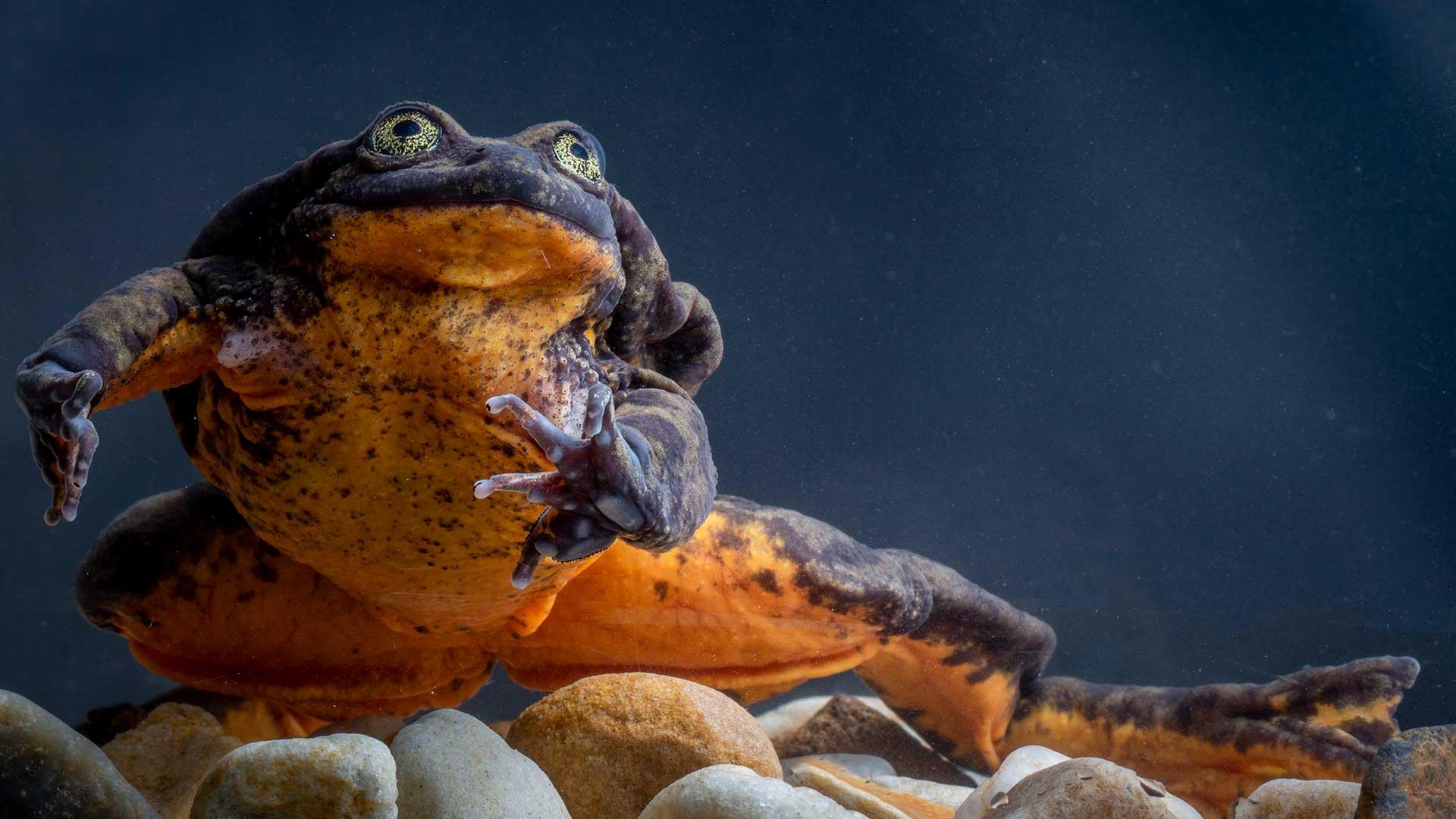 Der vermeintlich letzte Sehuencas-Wasserfrosch lebte in Bolivien. Inzwischen wurden fünf weitere entdeckt. © Robin Moore / Global Wildlife Conservation