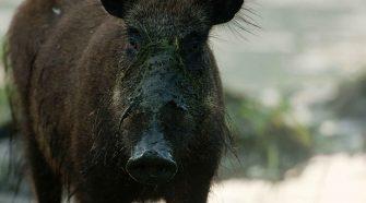 Wildnis Stadt: Wildschweine