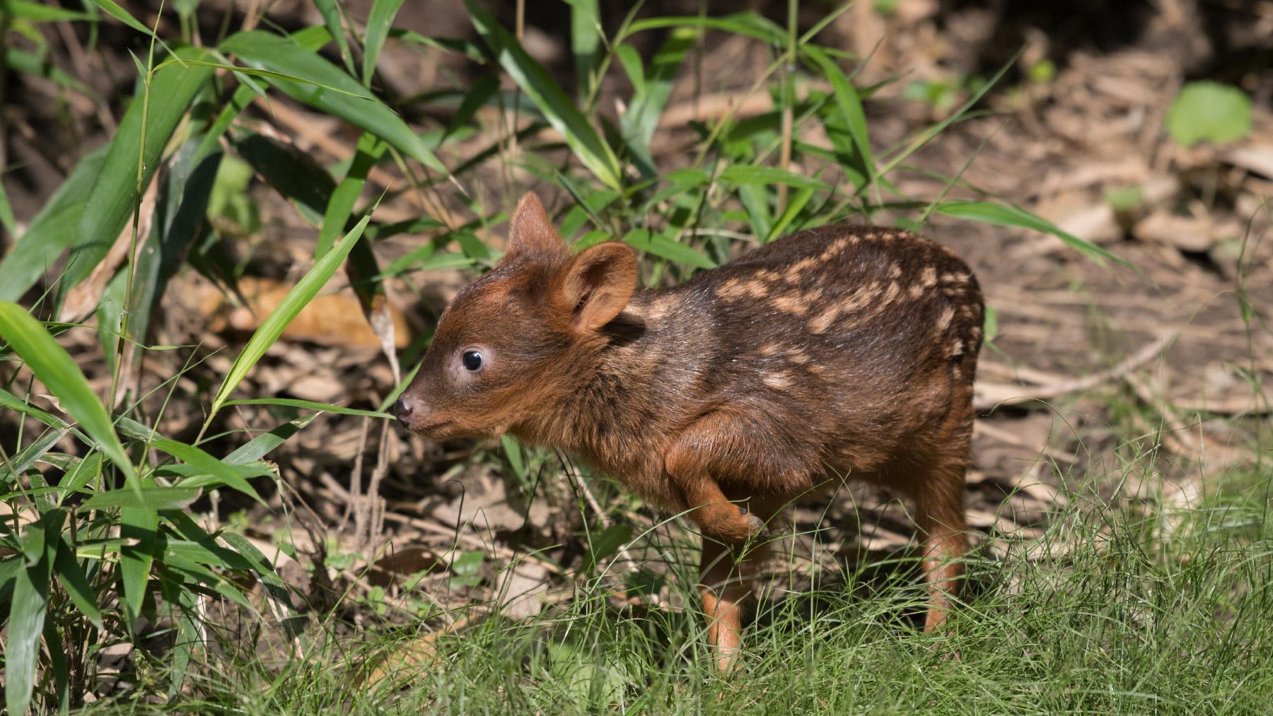 Der Pudu, der kleinste Hirsch der Welt ist, in der Páramos-Hochebene beheimatet. Julie Larsen Maher-WILDLIFE-CONSERVATION-SOCIETY / Animalpress