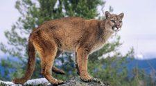 In den Hochmooren der Anden sind auch die bedrohten Pumas anzutreffen. © IPGGutenbergUKLtd / Gettyimages