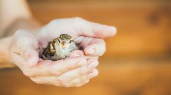 Vogel aus dem Nest gefallen: Spatz in der Hand
