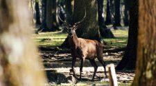 Europawahl für den Waldschutz und den Artenschutz: Hirsch im Wald
