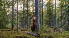 Europawahl für Wolf Luchs und Co: Braun Bär steht im Wald