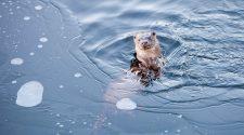Wasserrahmenrichtlinie: Otter