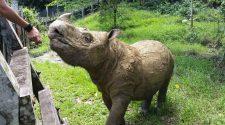 Sumatra-Nashorn retten: Tam in seinem Reservat auf Borneo