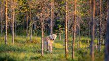 Wölfe abschiessen soll erleichtert werden