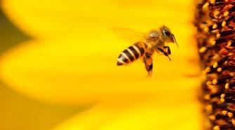 Bienen helfen: Biene fliegt in eine Blüte