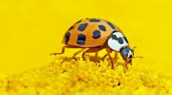 So sieht der Asiatische Marienkäfer aus: Die meist heller gefärbte Art verdrängt heimische Marienkäfer.