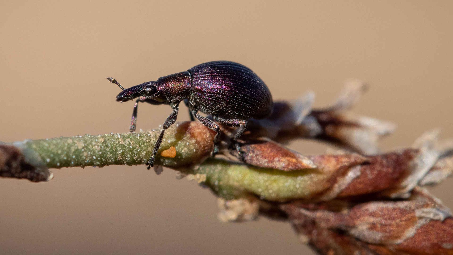 Weltnaturerbe Wattenmeer: Halligflieder-spitzmaus-rüsselkäfer