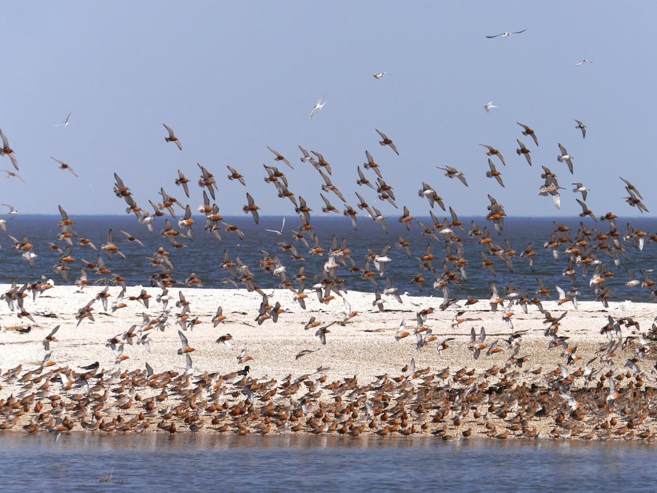 Weltnaturerbe Wattenmeer: Knutts vor Hooge-Ost