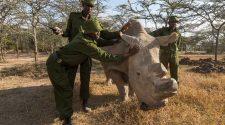 Nördliches Breitmaulnashorn 2015 in Kenia