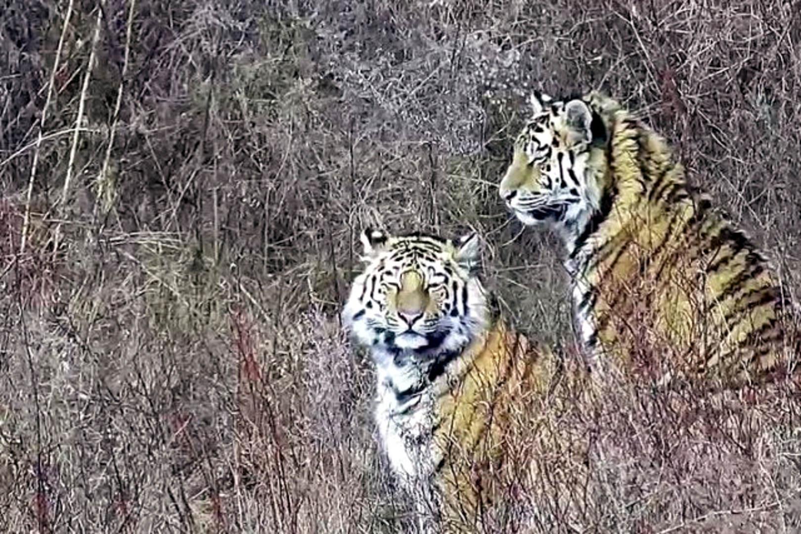 Tiger Russland: Pavlik und Elena im Rehabilitationscenter Tigr