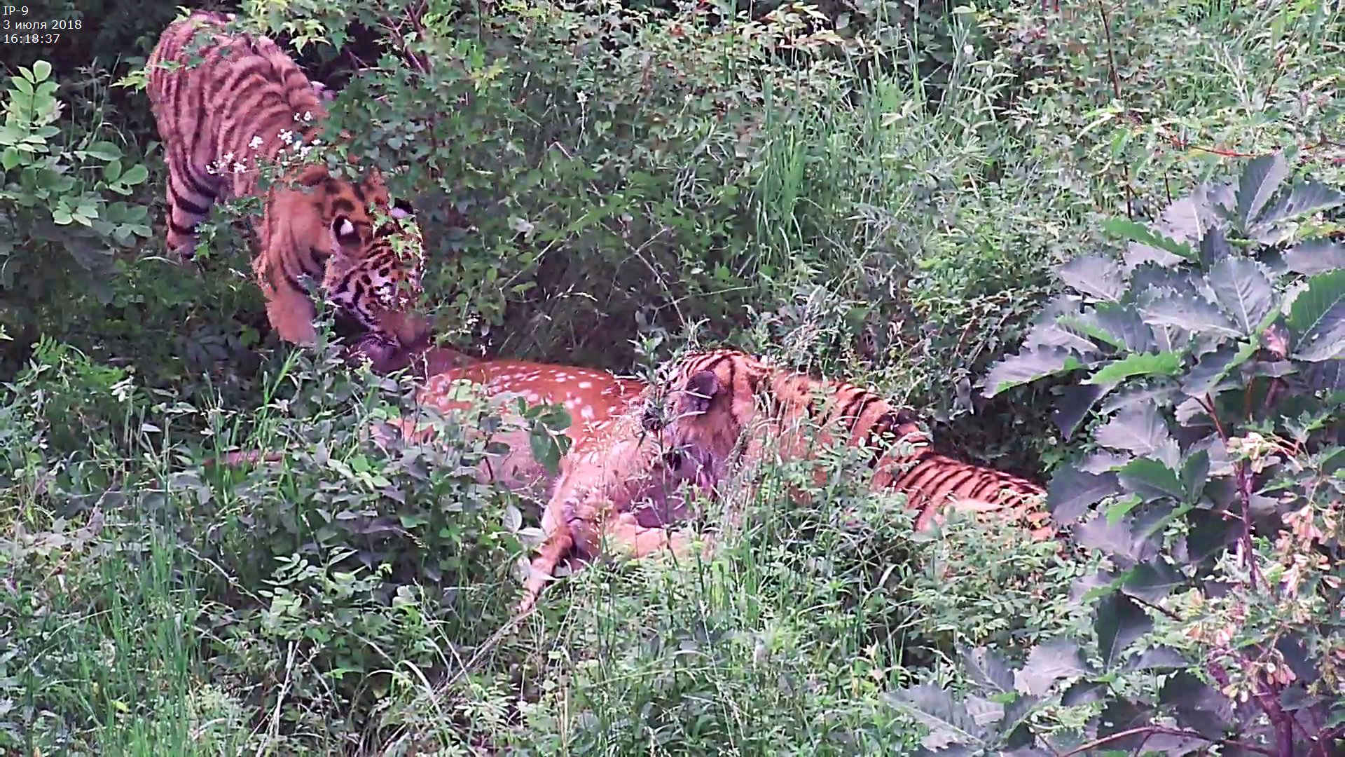 Tiger in Russland: Kamerafallenbild der beiden jungen Amur-Tiger beim Erlegen eines Hirsches im Tigr Rehab Center