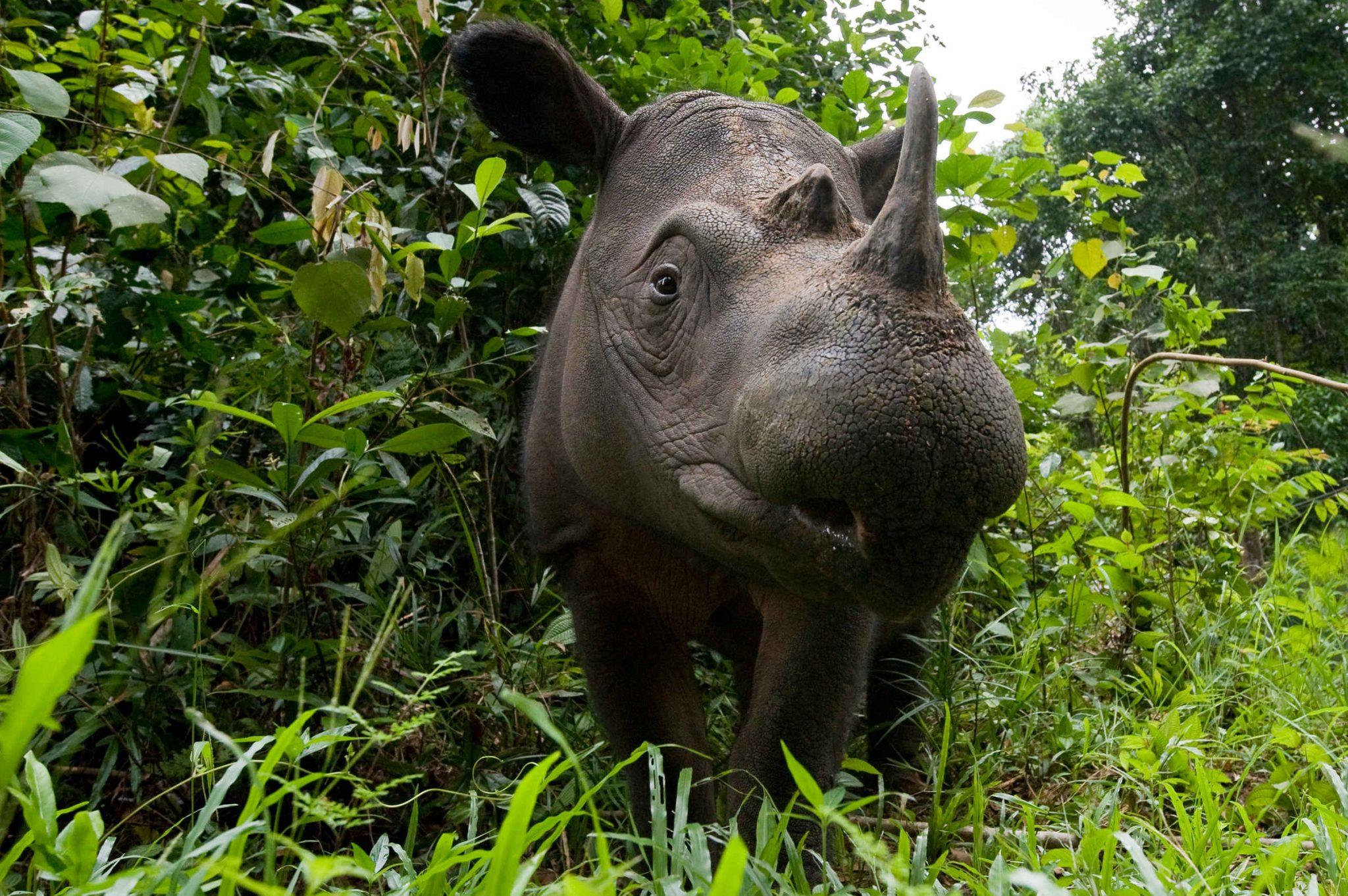 Kann das Breitmaulnashorn gerettet werden? Beim Sumatra Nashorn sieht es besser aus