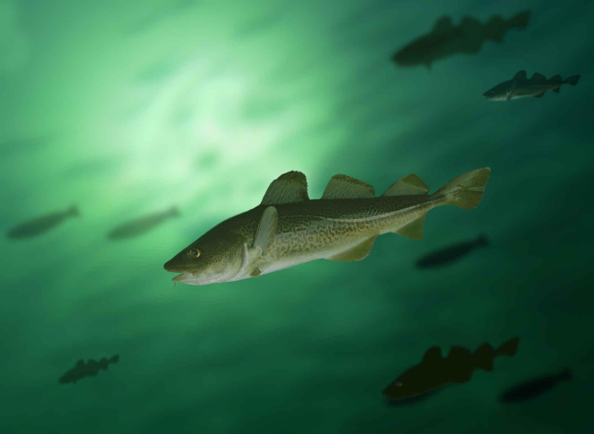 Fisch essen an der Ostsee? Bitte nicht Dorsch