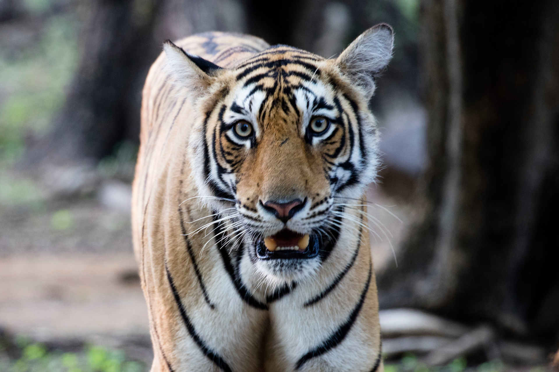 Tiger Fakten: Bengalischer Tiger in Ranthambore, Indien